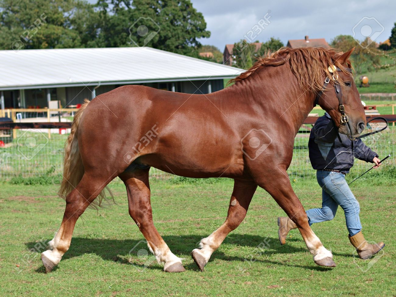 A Suffolk Punch Stallion Being Trotted Up By A Handler Stock Photo Picture And Royalty Free Image Image 14038085