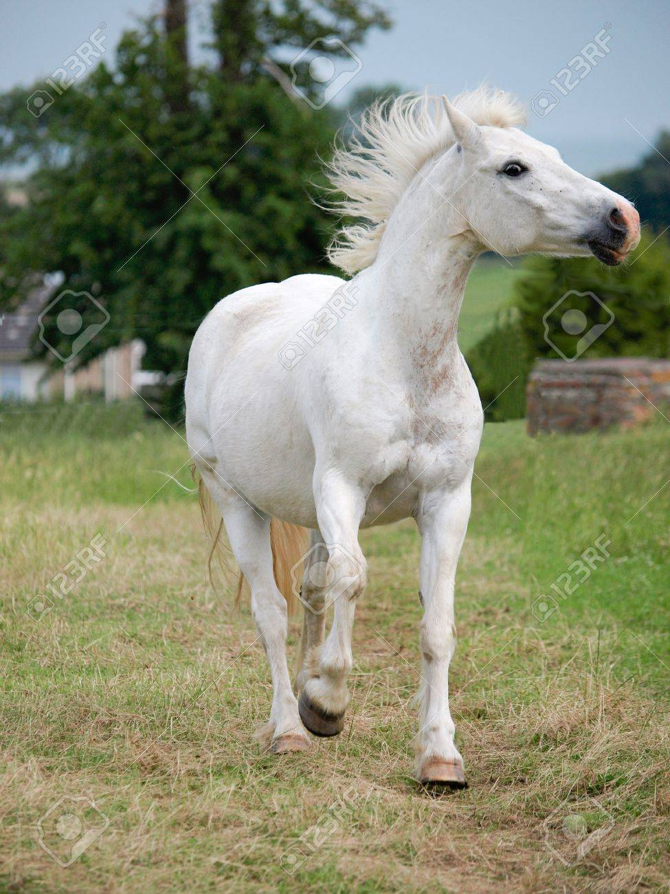 A grey horse runs towards the camera Stock Photo - 16076961