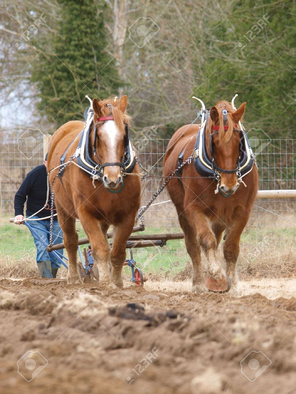 A Team Of Suffolk Punch Horses Plough A Field Stock Photo Picture And Royalty Free Image Image 16260196