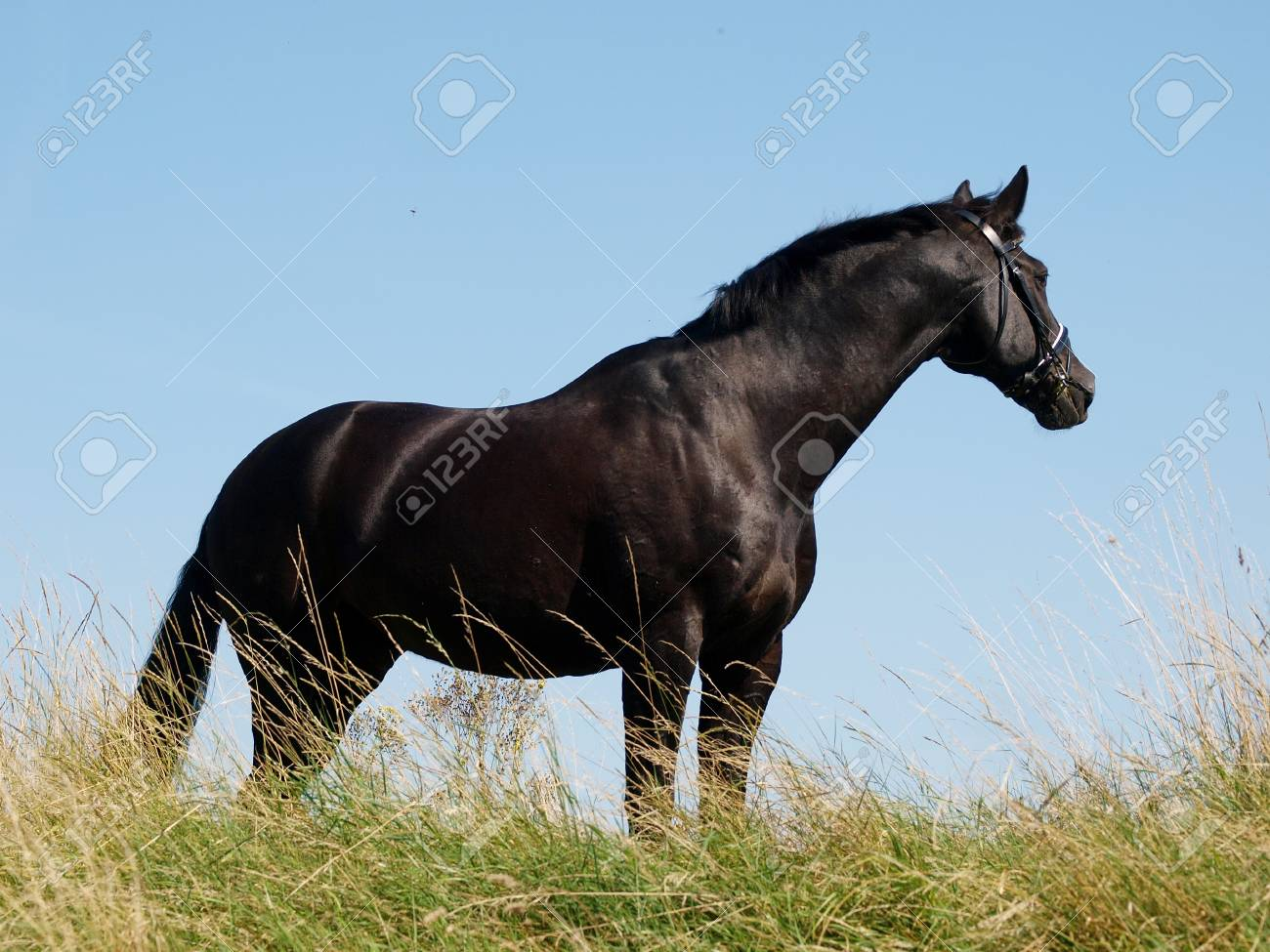 A Beautiful Black Horse Stands Up On The Top Of A Hill Stock Photo Picture And Royalty Free Image Image 18024091