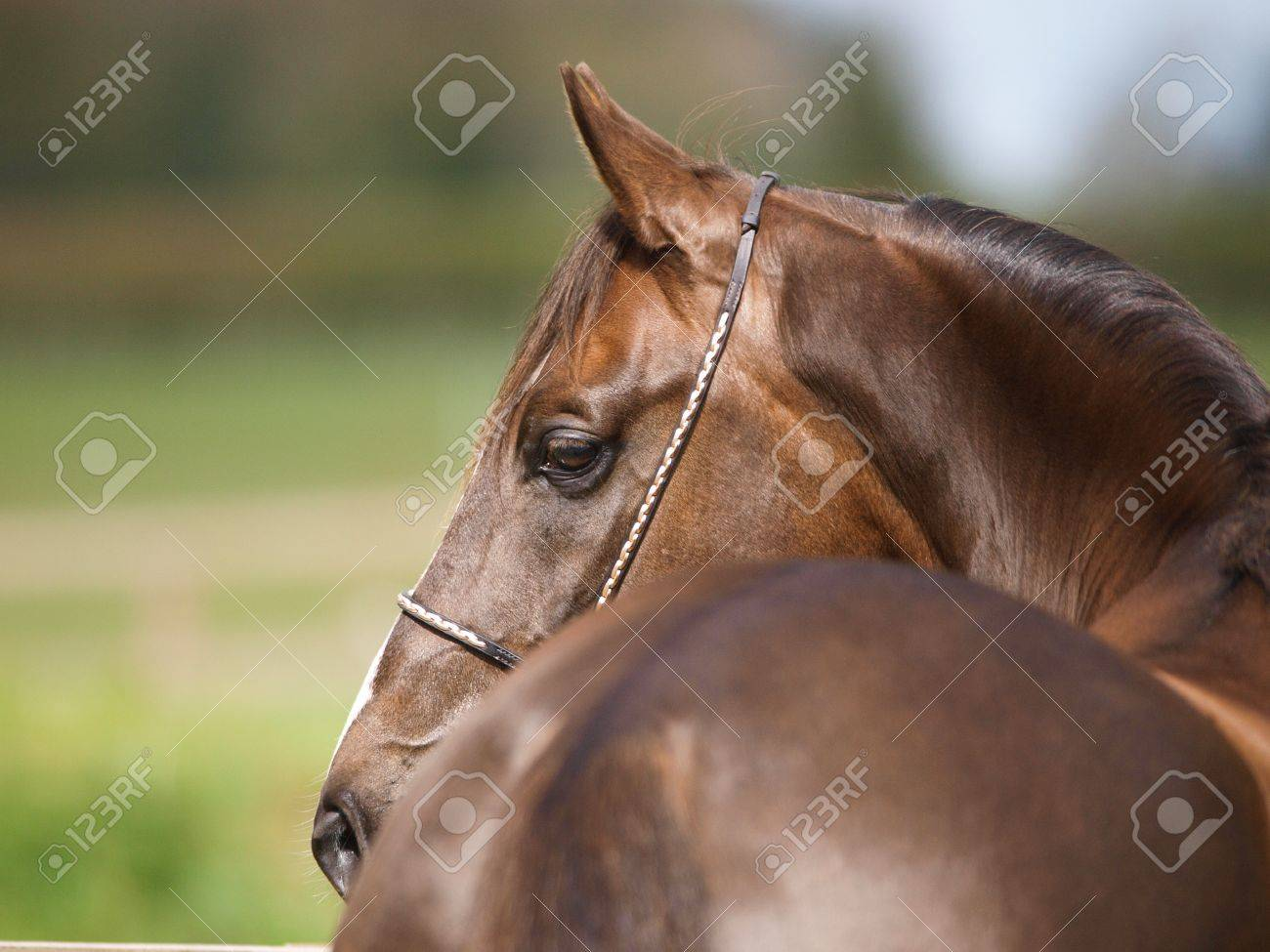 Bay Arabian Horse Head