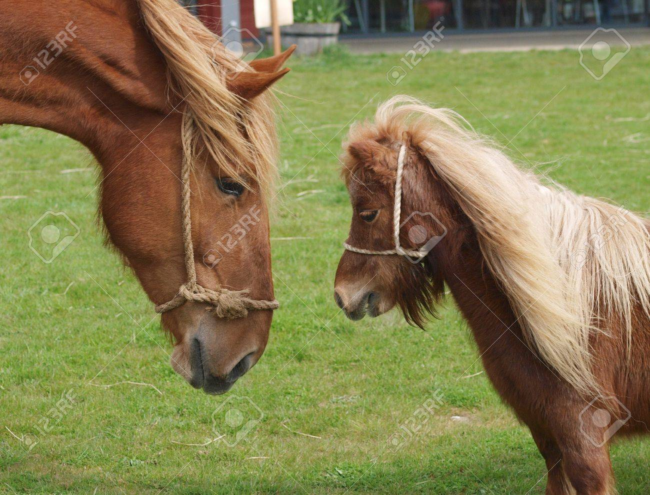 Uncategorized Picture Of A Pony a large horse looks down into the face of small pony stock photo