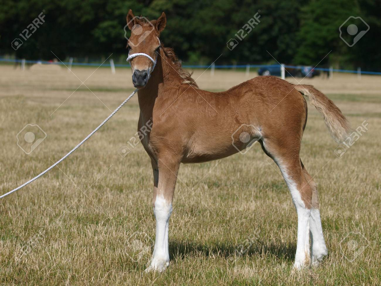 A Cute Welsh Pony Foal In A White Halter Stands At A Show Stock Photo Picture And Royalty Free Image Image 106297629