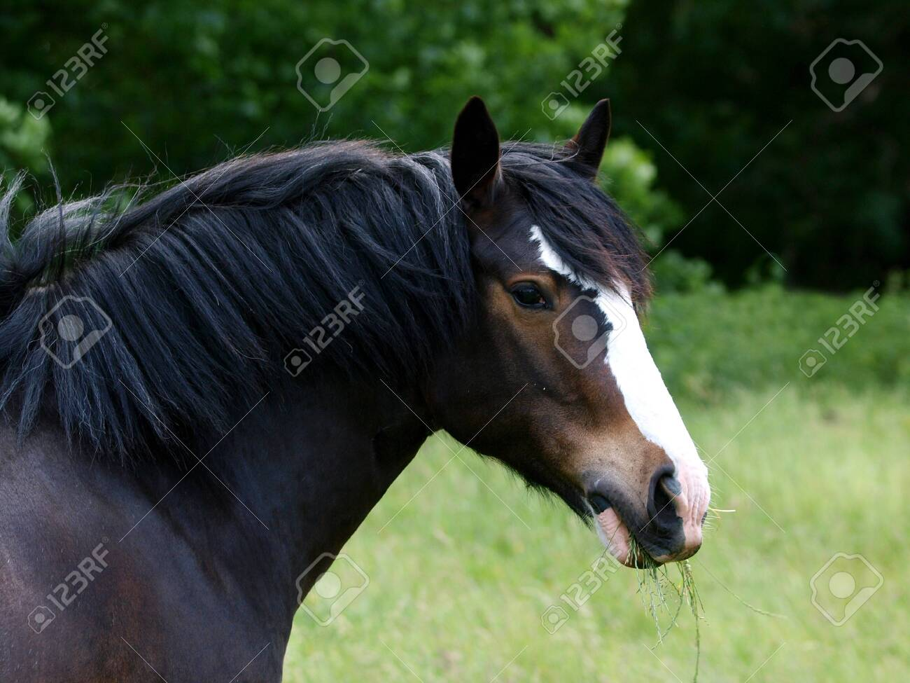 A Dark Bay Part Bred Shire Horse At Liberty In A Grassy Summer Stock Photo Picture And Royalty Free Image Image 143128503