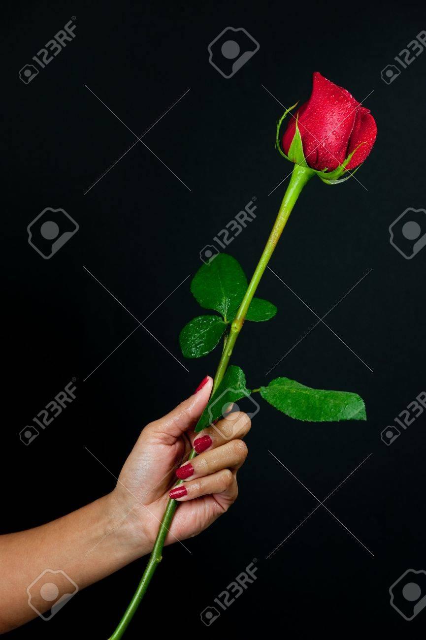 Una Rosa Roja Aislada En Negro Es Parcialmente Abierta Con Gotitas ...