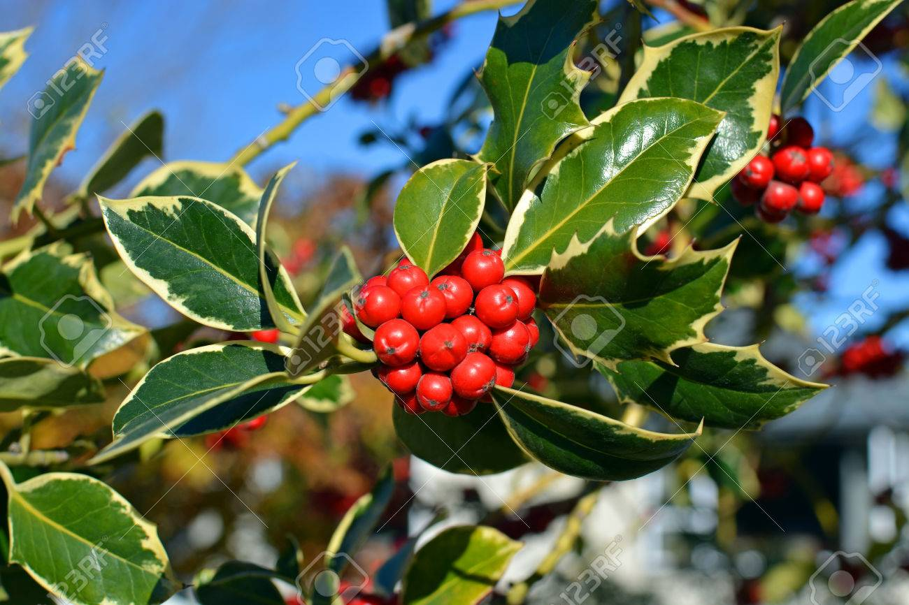Christmas Holly Tree.Closeup View Of Christmas Holly Tree With Clusters Of Red Berries