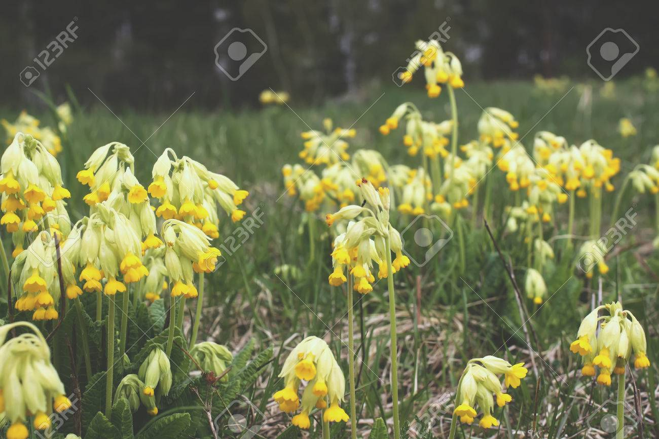 Golden Yellow Flowers Of Primrose Plant In Spring Park Stock Photo