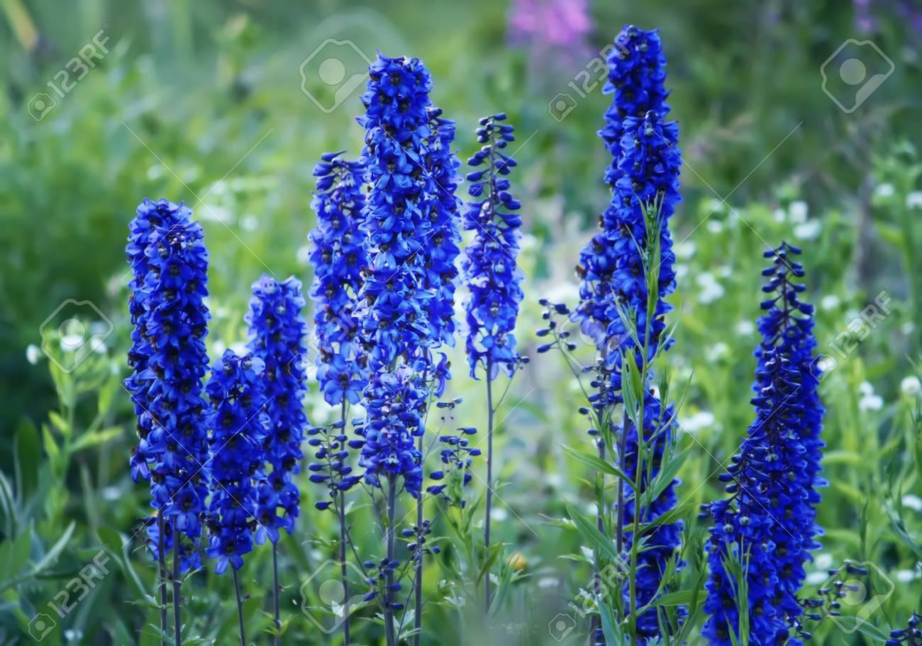 Flower Delfinium Delfinium Powerful Tall Perennial Plant Stock