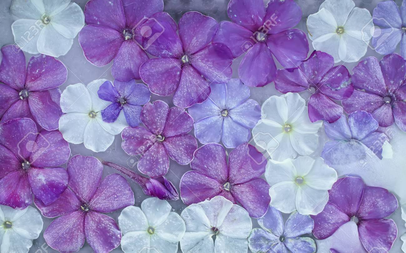 Ice cube with phlox white and purple flowers close up natural ice cube with phlox white and purple flowers close up natural frozen floral background mightylinksfo