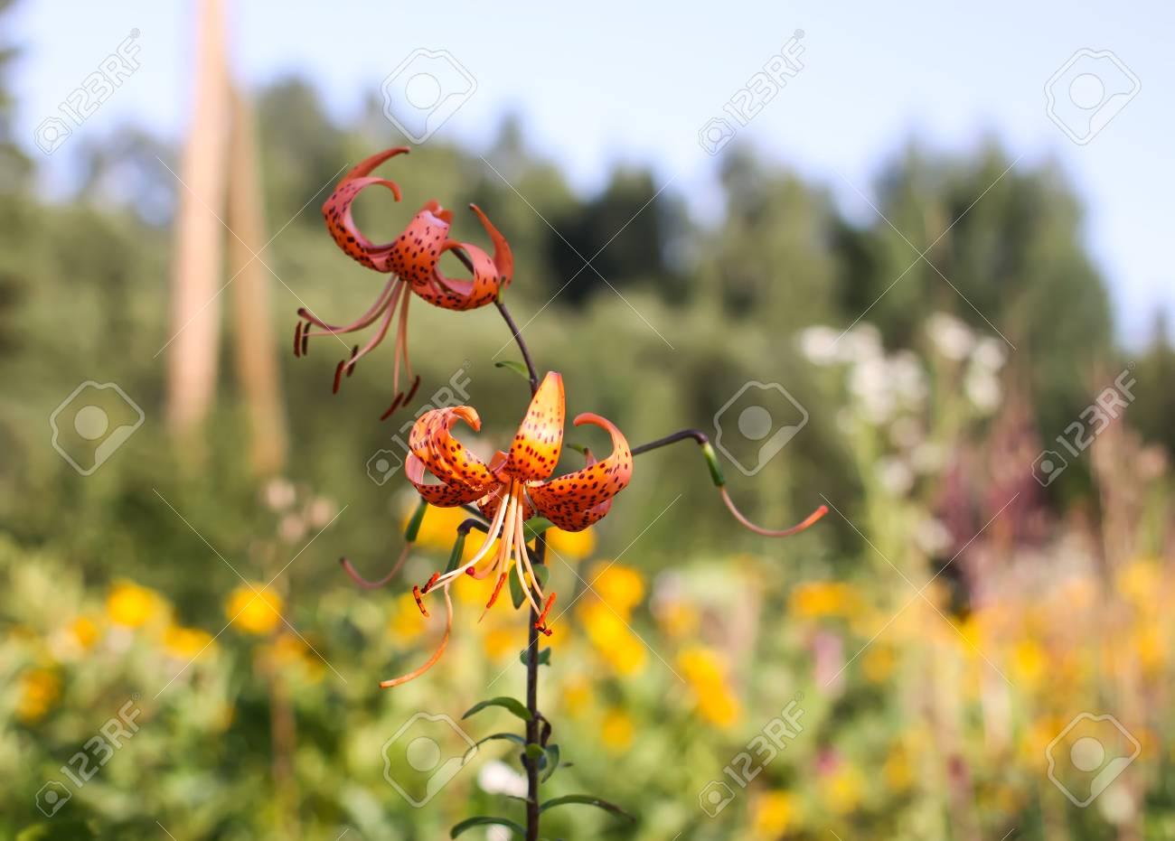 Orange Lily Flowers Blooming In Summer Park Stock Photo Picture