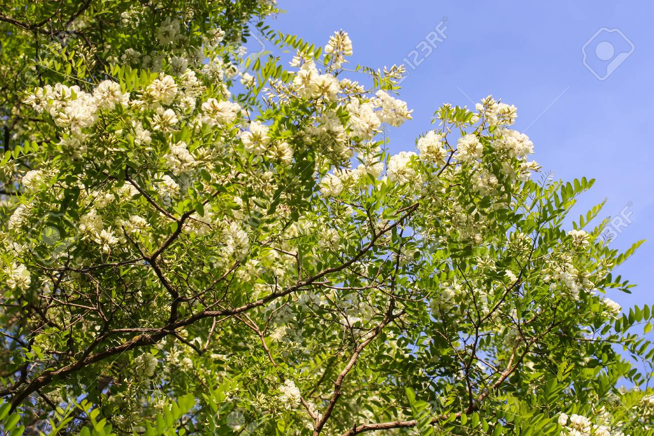 Blooming Flowers Of White Acacia Tree In A Park At Spring Stock