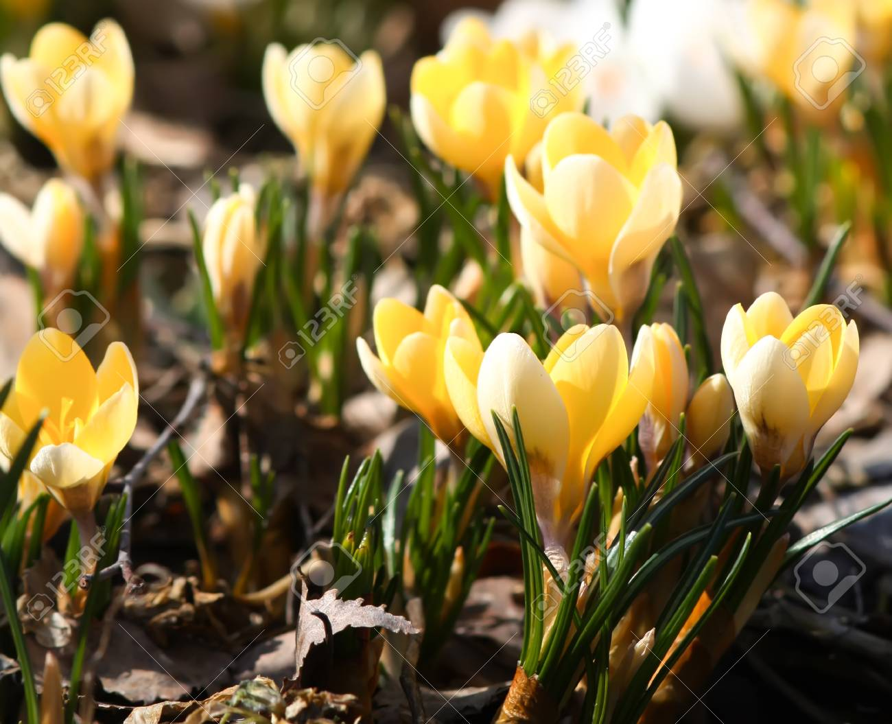 Spring Beautiful Yellow Crocus Flowers Blooming In A Park In Stock