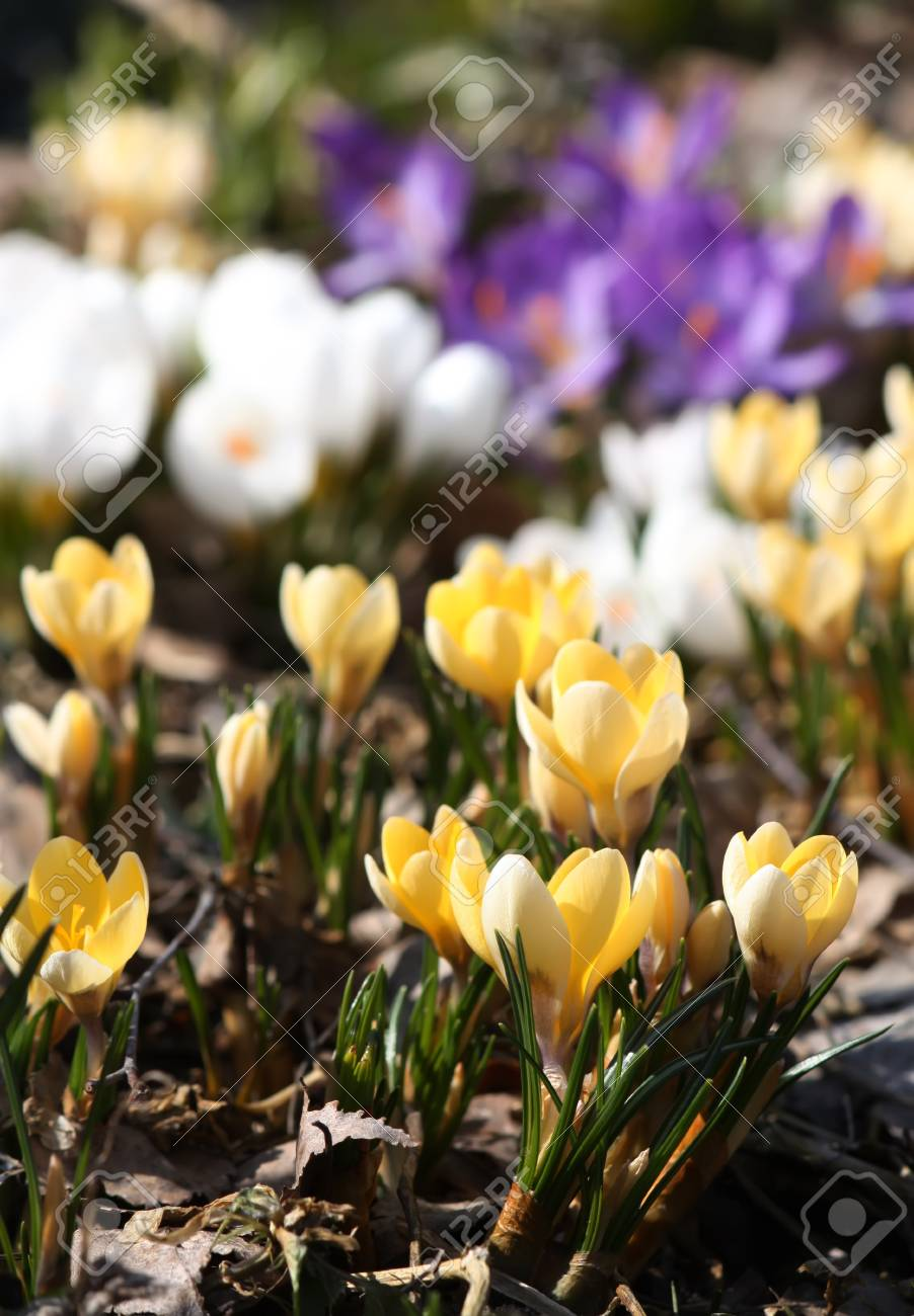 Spring Beautiful Crocus Flowers Blooming In A Park In Sunlight