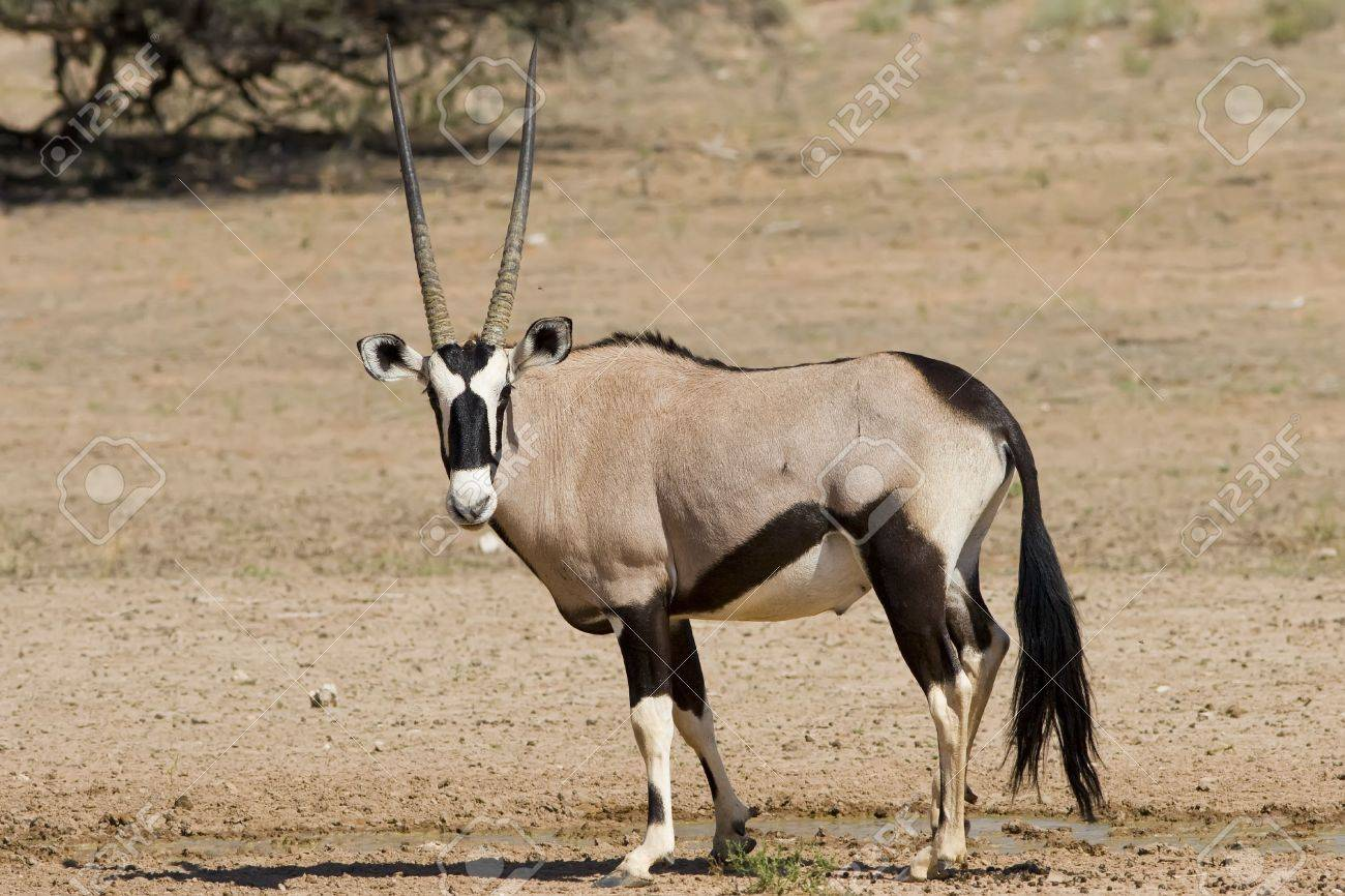 Majestic Gemsbok found in the arid Kalahari Stock Photo - 1885412