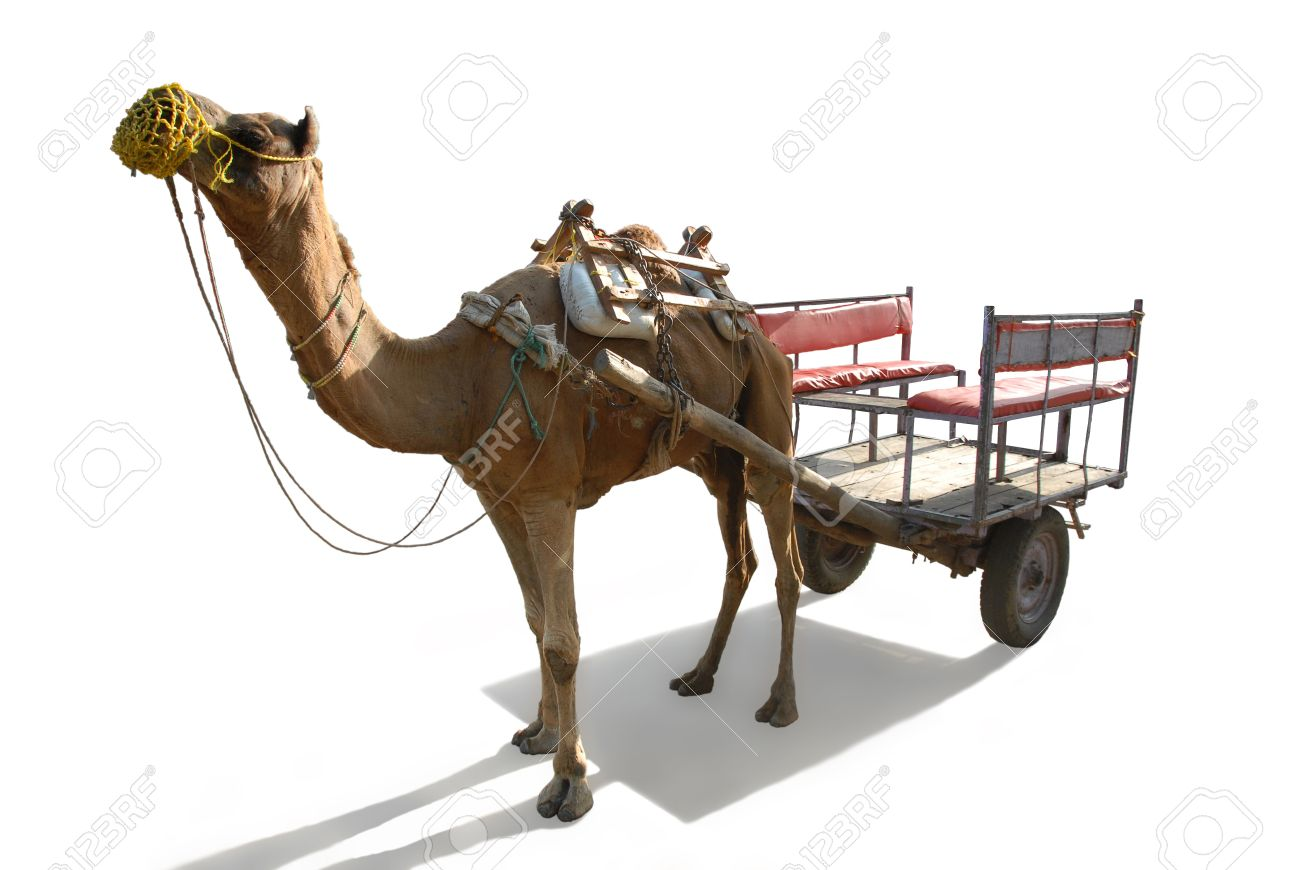 Camel Harnessed In An Old Vehicle, On A White Background Stock Photo ...