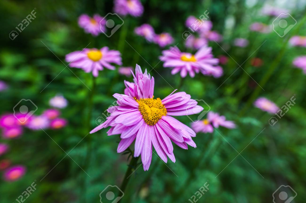 Abnormal flowers double headed pink daisies natural blurred abnormal flowers double headed pink daisies natural blurred background stock photo 85180272 izmirmasajfo