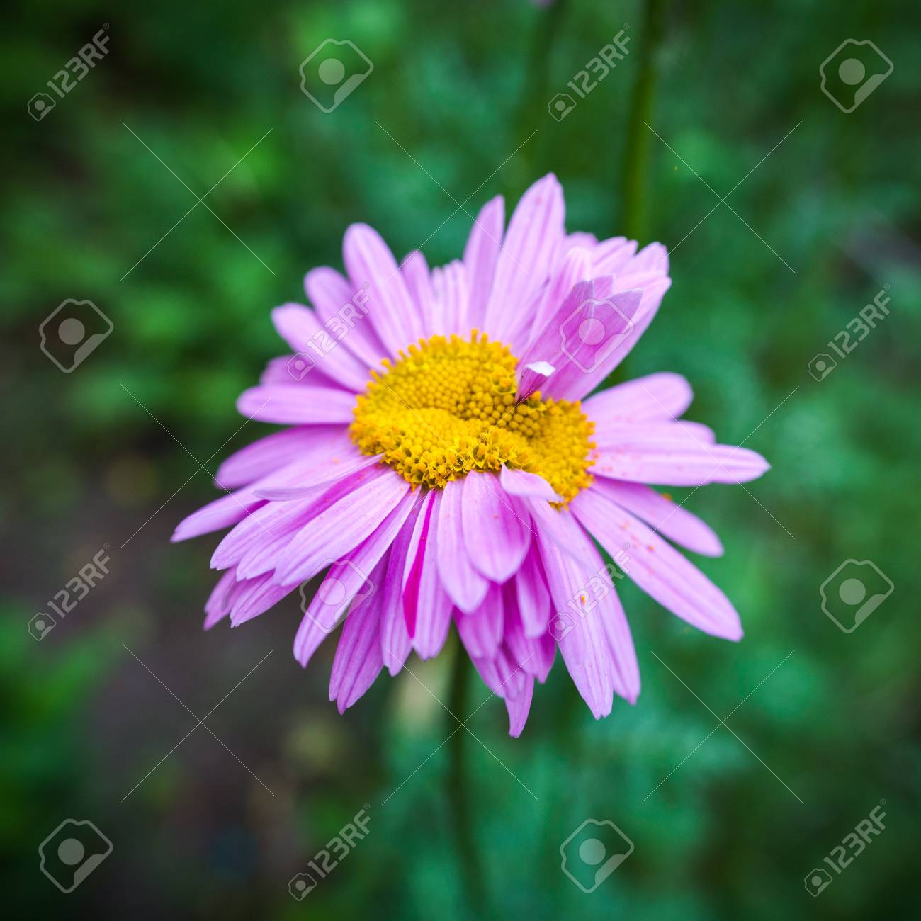 Abnormal flower double headed pink daisy natural blurred abnormal flower double headed pink daisy natural blurred background stock photo 85235218 izmirmasajfo Image collections