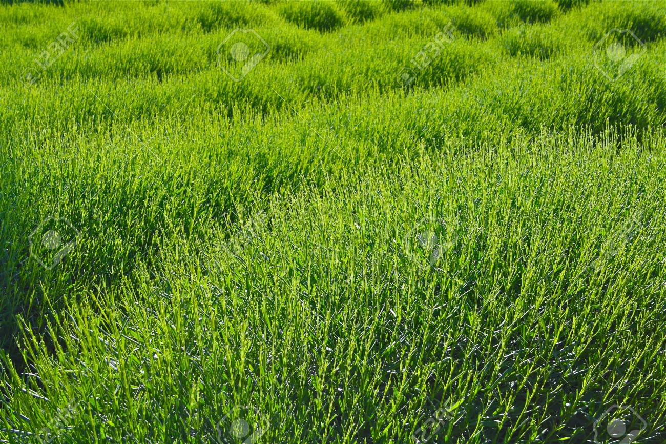 Spring Lavender Field Stock Photo - 12274696