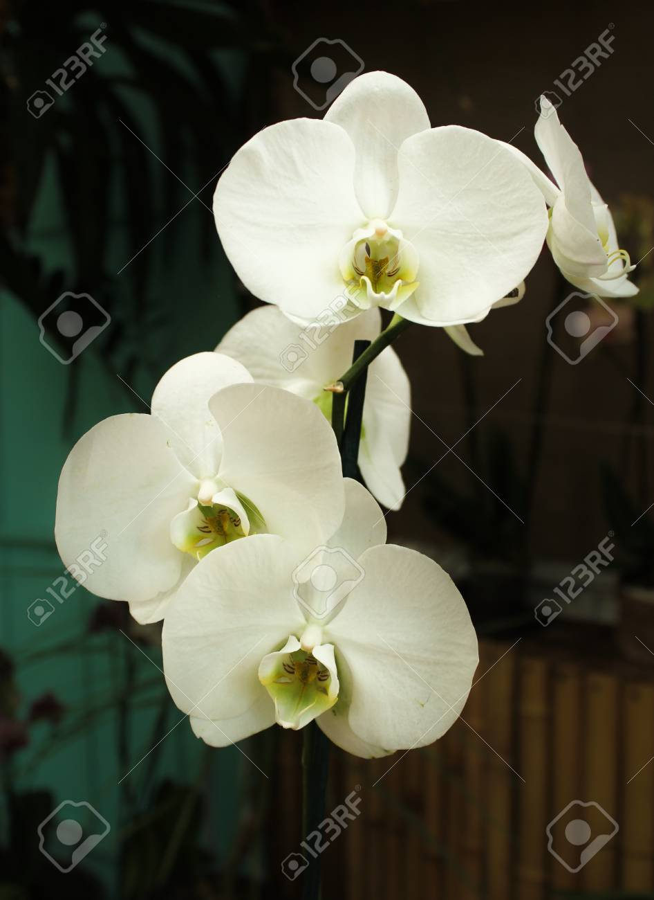 Purely White Orchid Flowers Stock Photo Picture And Royalty Free