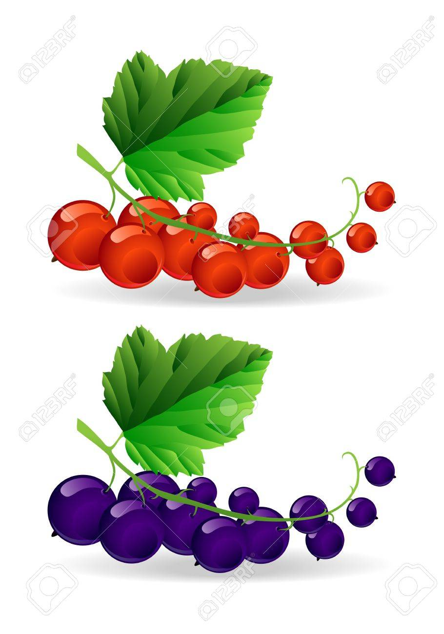 Branch with black and red shiny currant Stock Vector - 16259699