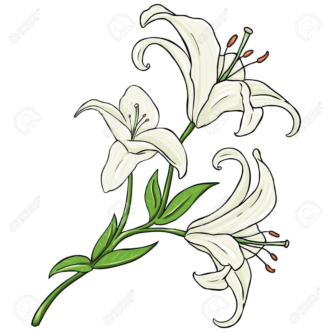Vector cartoon isolated illustration white lily on white vector vector cartoon isolated illustration white lily on white background izmirmasajfo