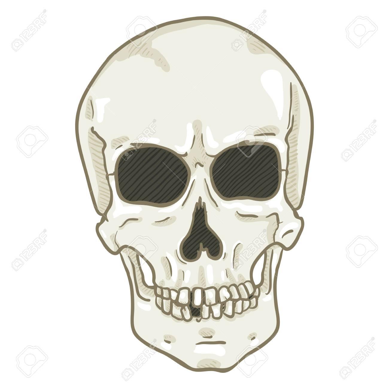 Vector Single Cartoon Illustration White Human Skull Front