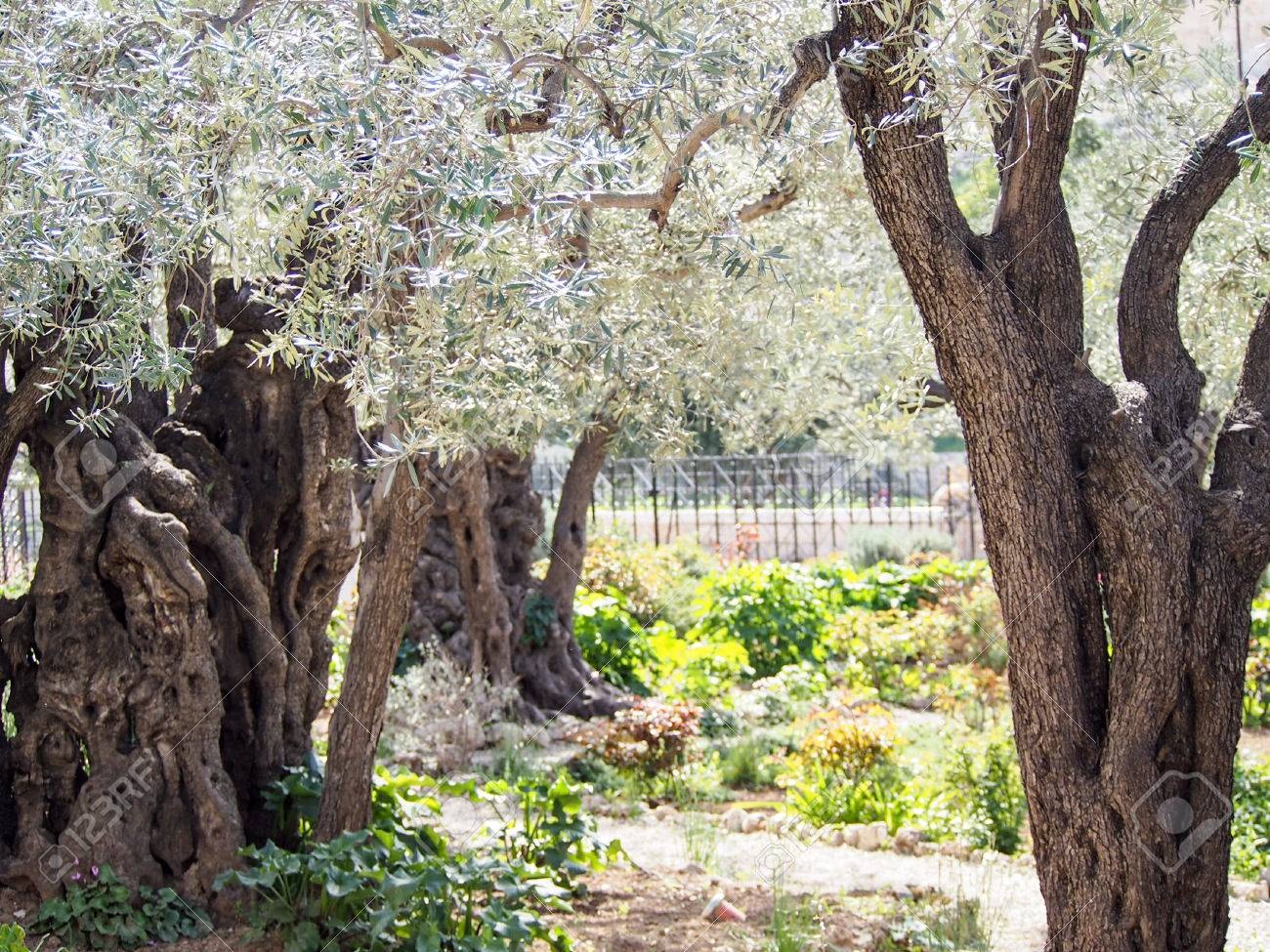 Ancient Olive Trees At The Biblical Site Where Jesus Prayed In Stock Photo Picture And Royalty Free Image Image 72293896