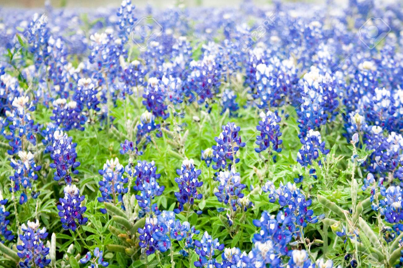 A Field Of Bluebonnets The Texas State Flower In Soft Focus