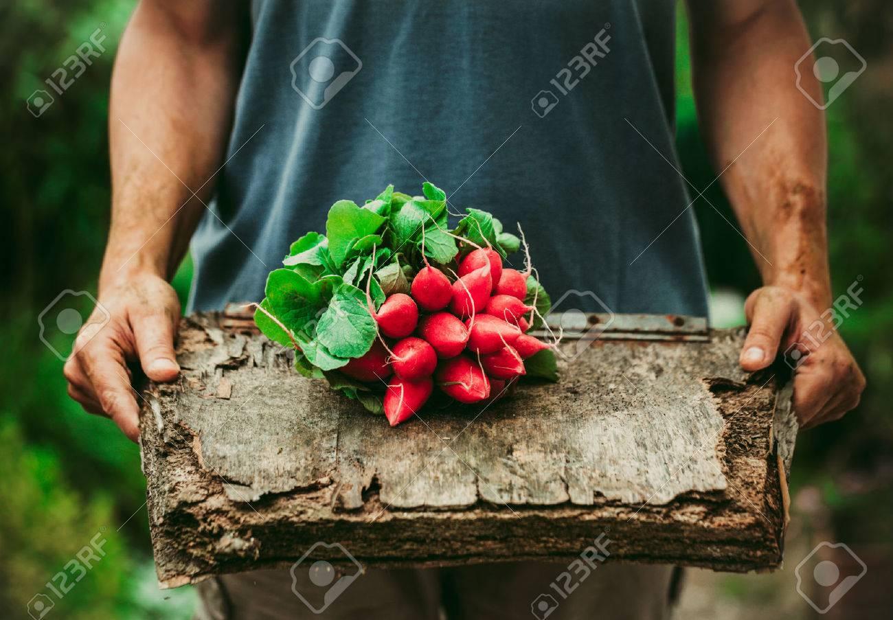 Organic vegetables. Farmers hands with freshly harvested vegetables. Horse radish - 42140247