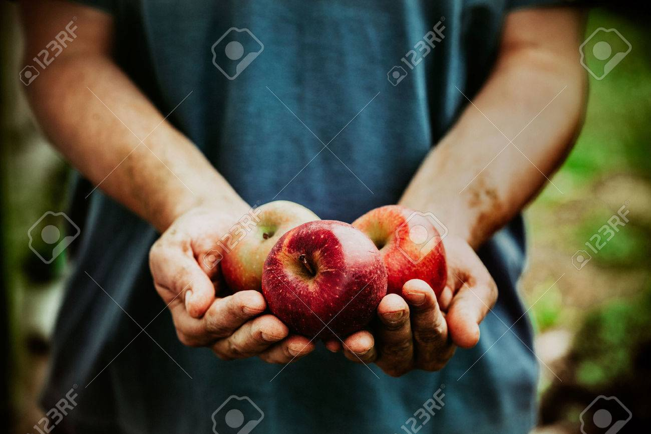 Organic fruit and vegetables. Farmers hands with freshly harvested apples. - 44891101