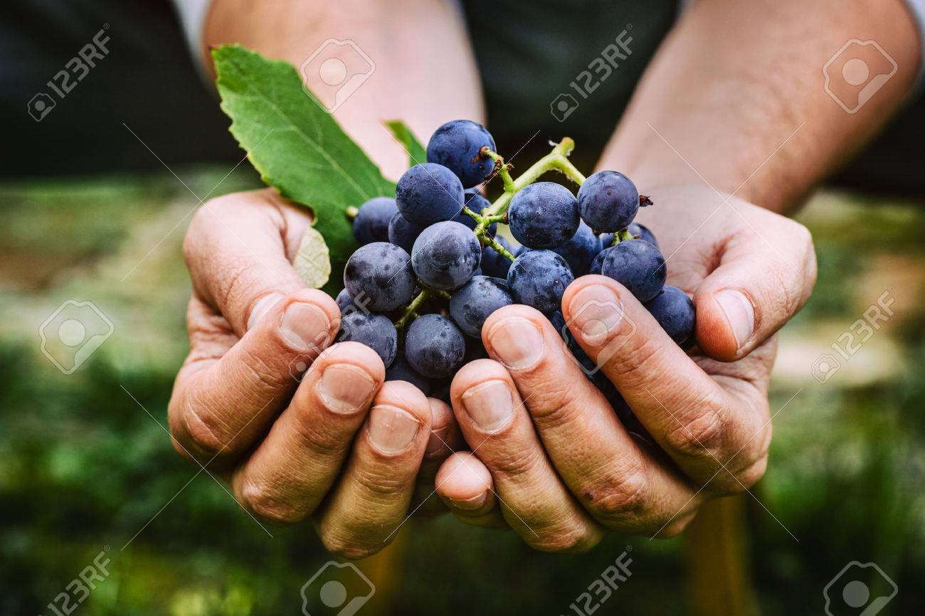 Grapes harvest. Farmers hands with freshly harvested black grapes. - 47308360