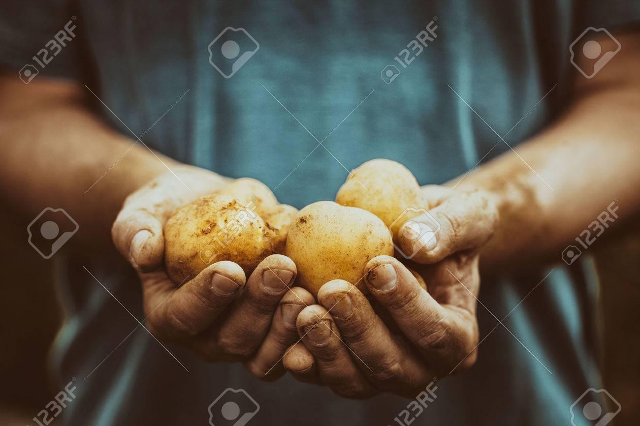 Organic vegetables. Farmers hands with freshly harvested vegetables. Fresh bio potatoes - 55213165