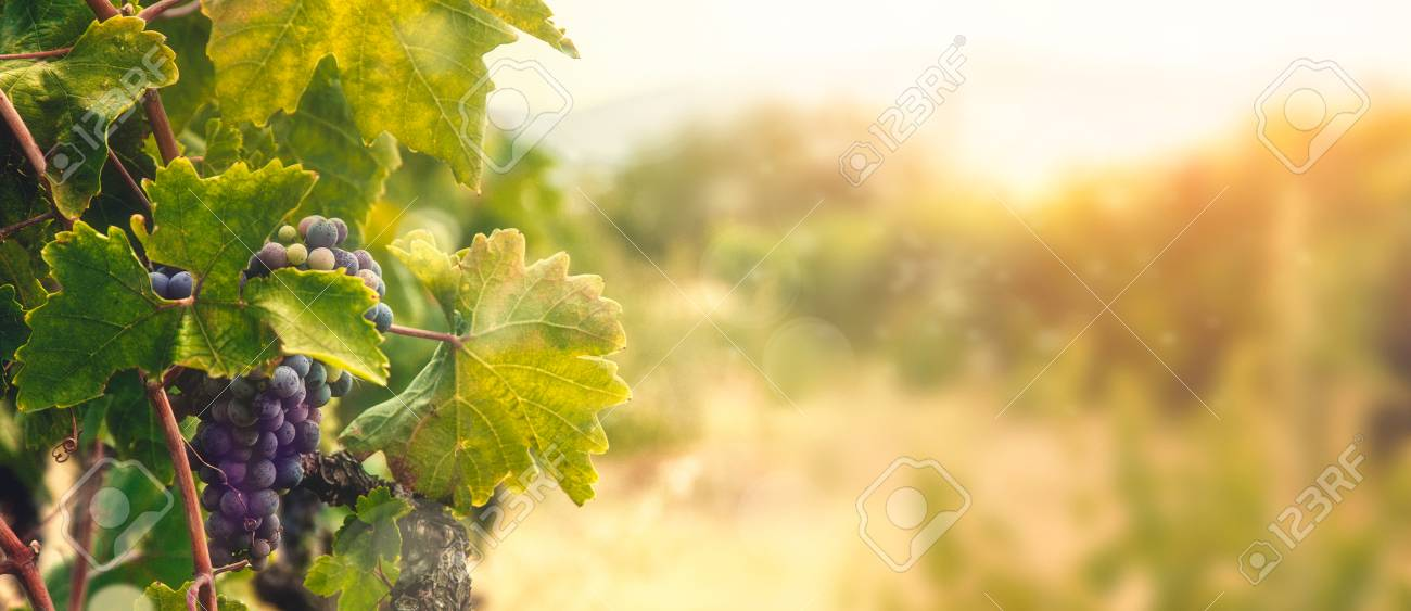 Nature background with Vineyard in autumn harvest. Ripe grapes in fall. - 105349550