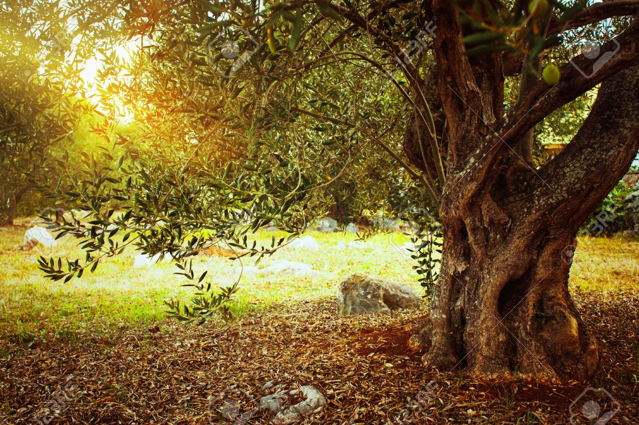 Mediterranean olive field. Olive tree in orchard.Olive harvest - 117845755