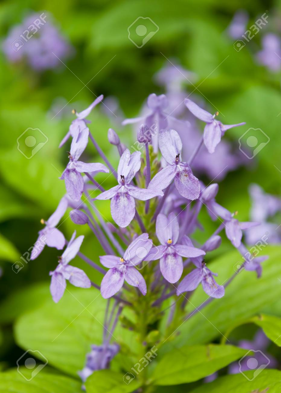 Blue Tropical Flower Stock Photo Picture And Royalty Free Image