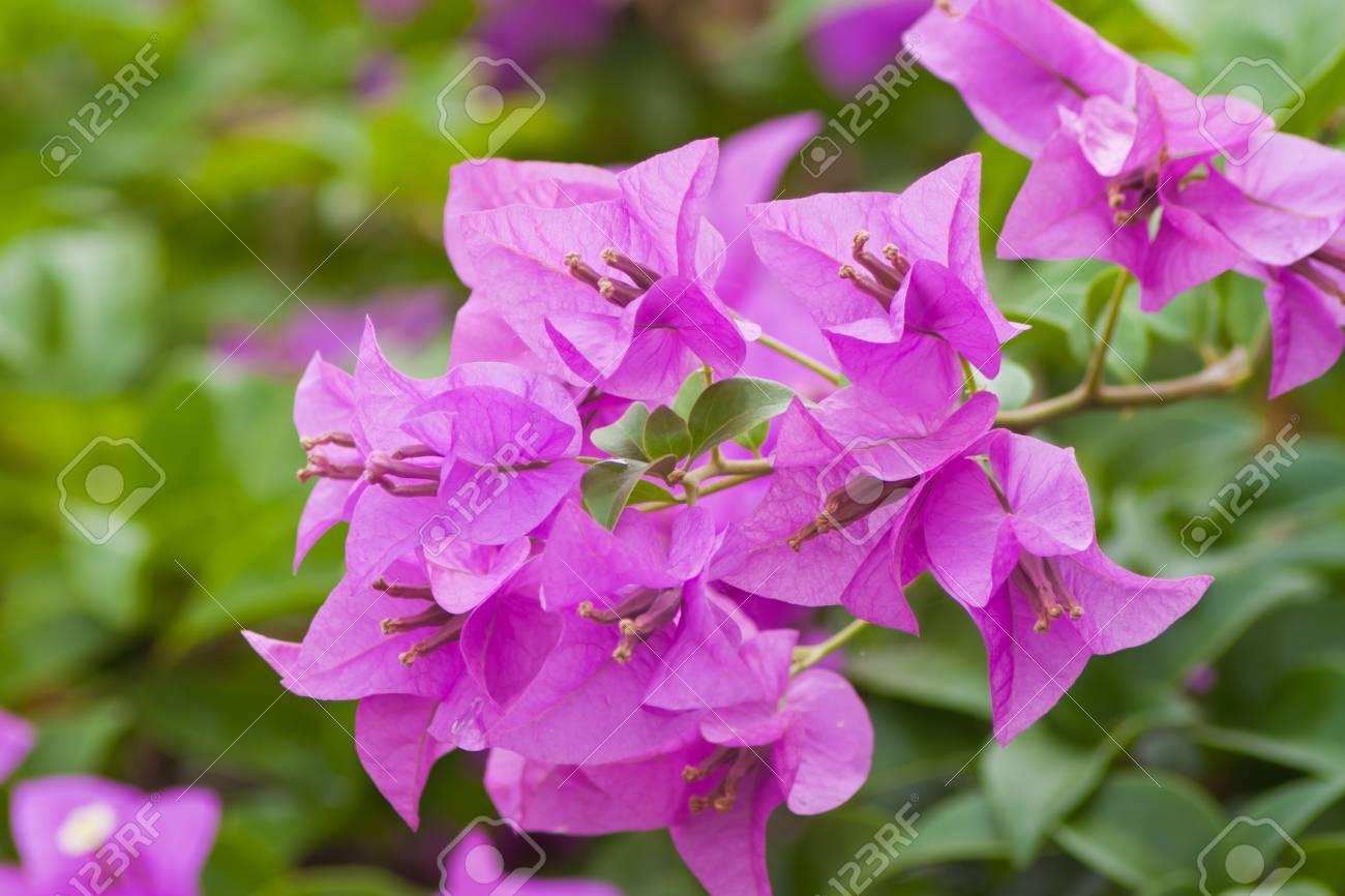 Bougainvillea paper flower Stock Photo - 13032045