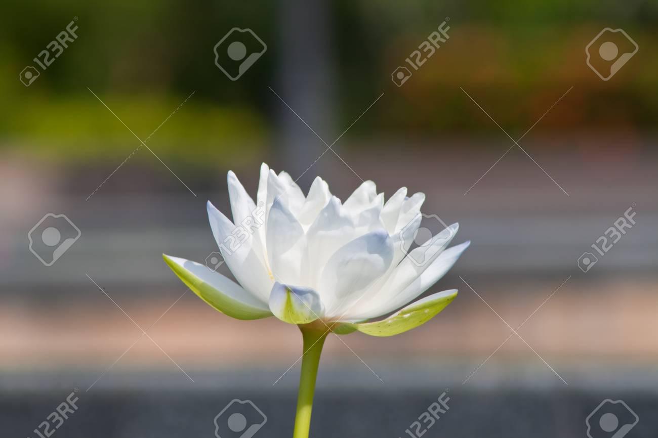 beautiful lotus Stock Photo - 13181880