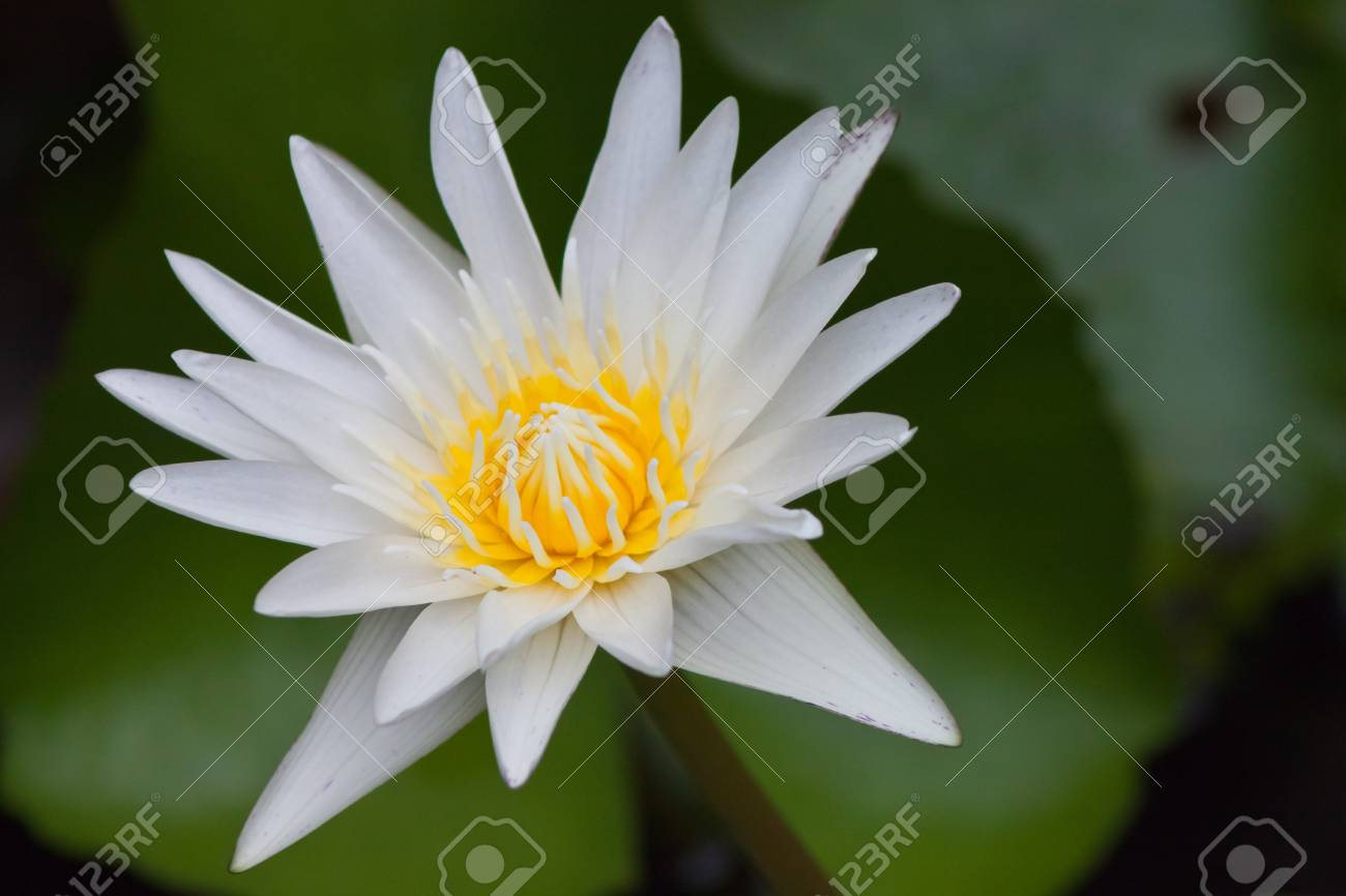 beautiful lotus Stock Photo - 15090247
