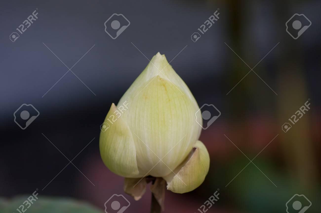 beautiful lotus In the pool Stock Photo - 15801034
