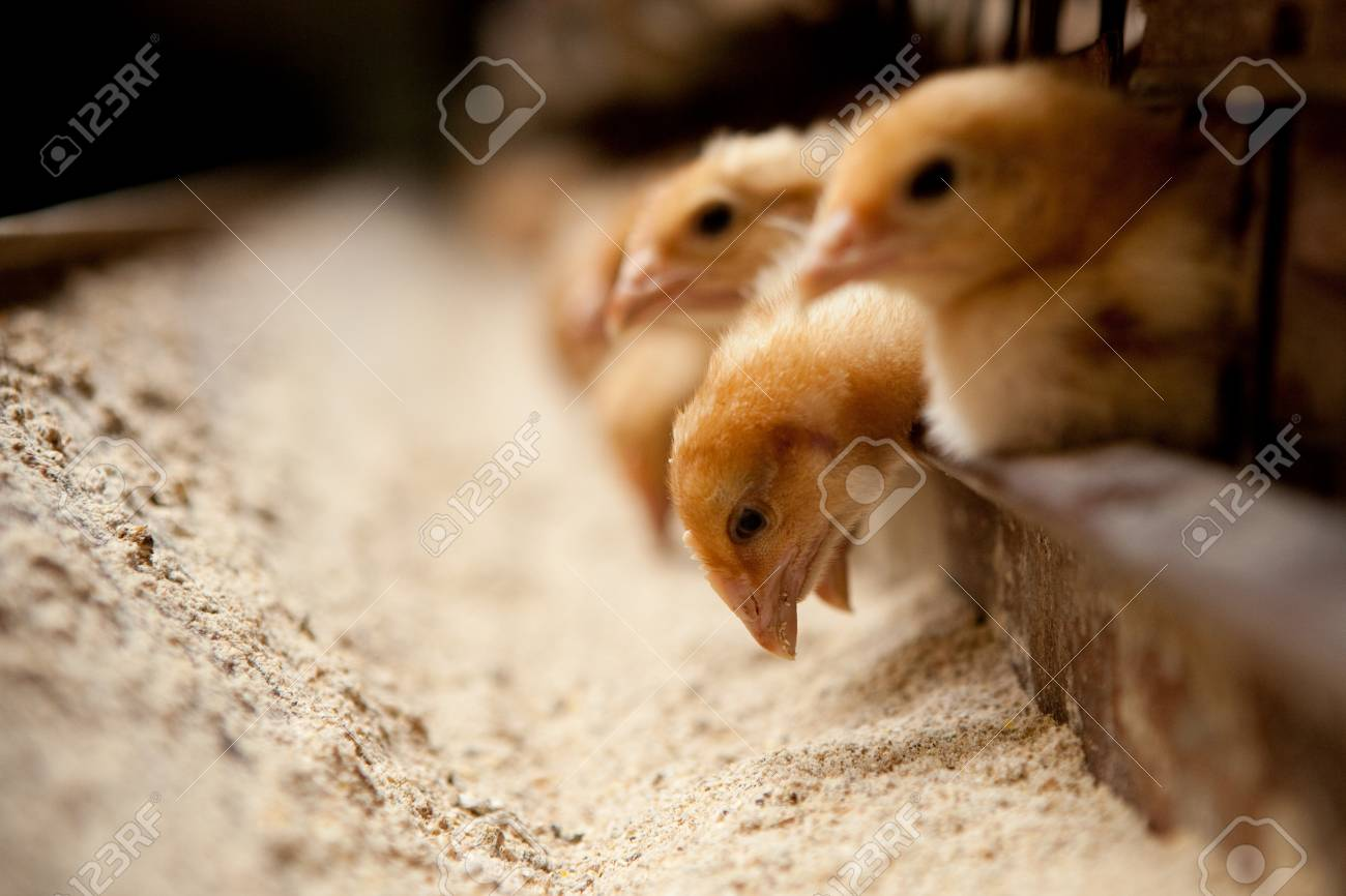 chicks feed on the farm - 93956582