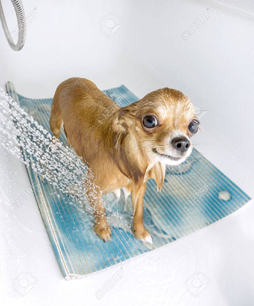 chihuahua dog getting pleasure from shower in bath stock photo stock photo chihuahua dog getting pleasure from shower in bath