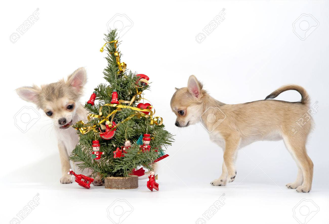 Chihuahua Puppies Decorating Christmas Tree Stock Photo Picture And Royalty Free Image Image 23311086