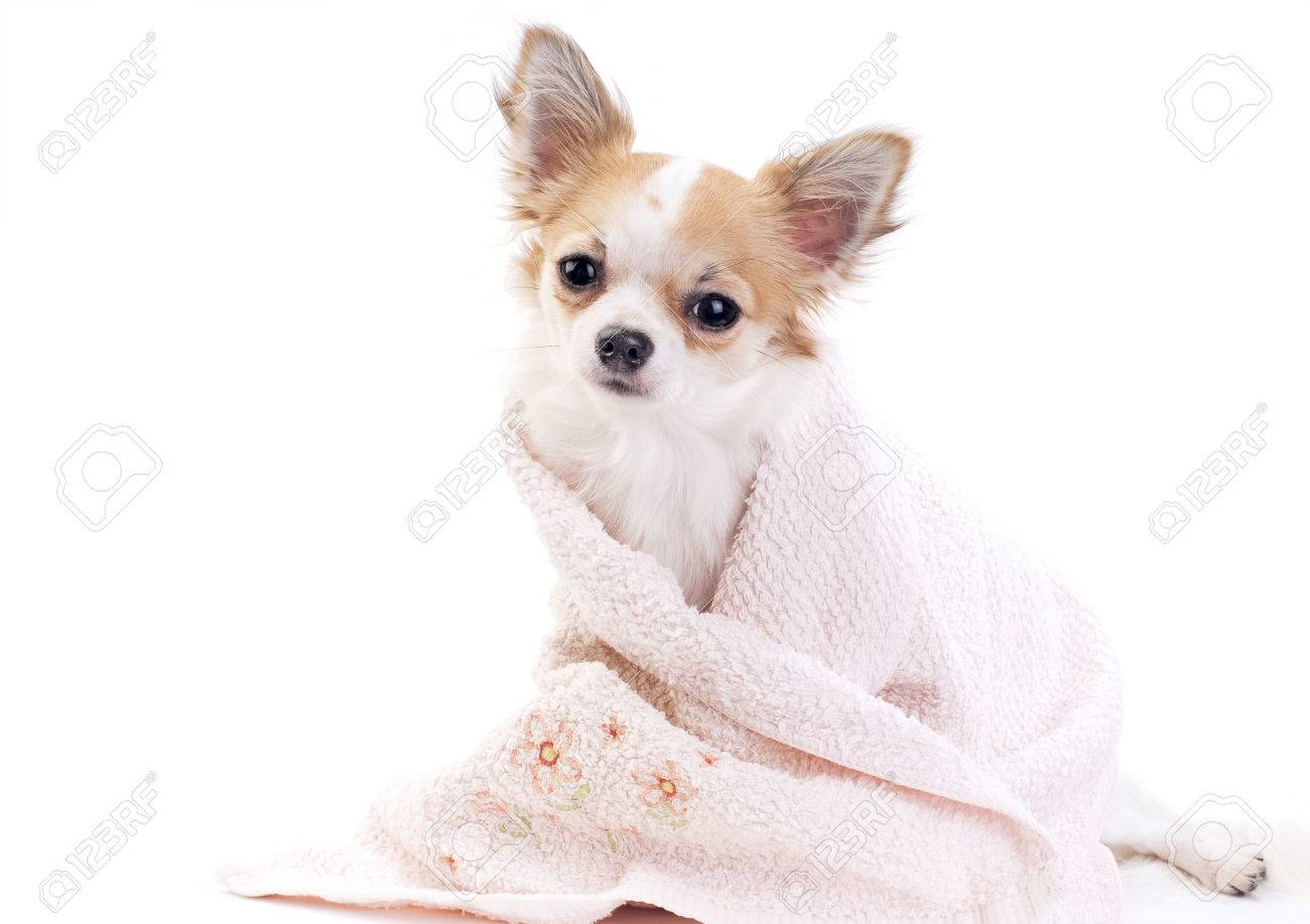 sweet chihuahua dog with pink towel isolated on white background Stock Photo - 23337898