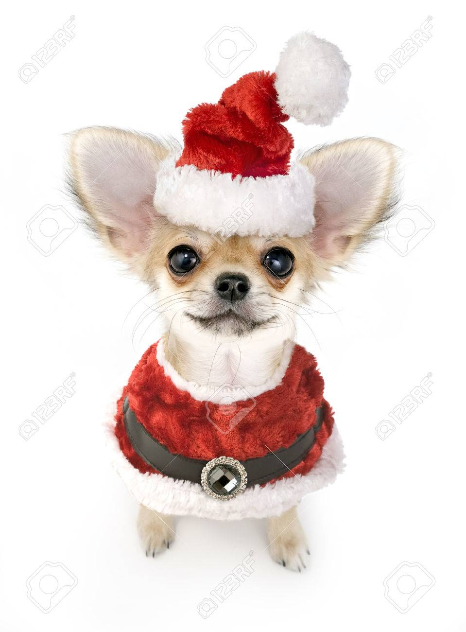 Christmas chihuahua puppy with Santa costume isolated on white background Stock Photo - 23486052  sc 1 st  123RF.com & Christmas Chihuahua Puppy With Santa Costume Isolated On White ...