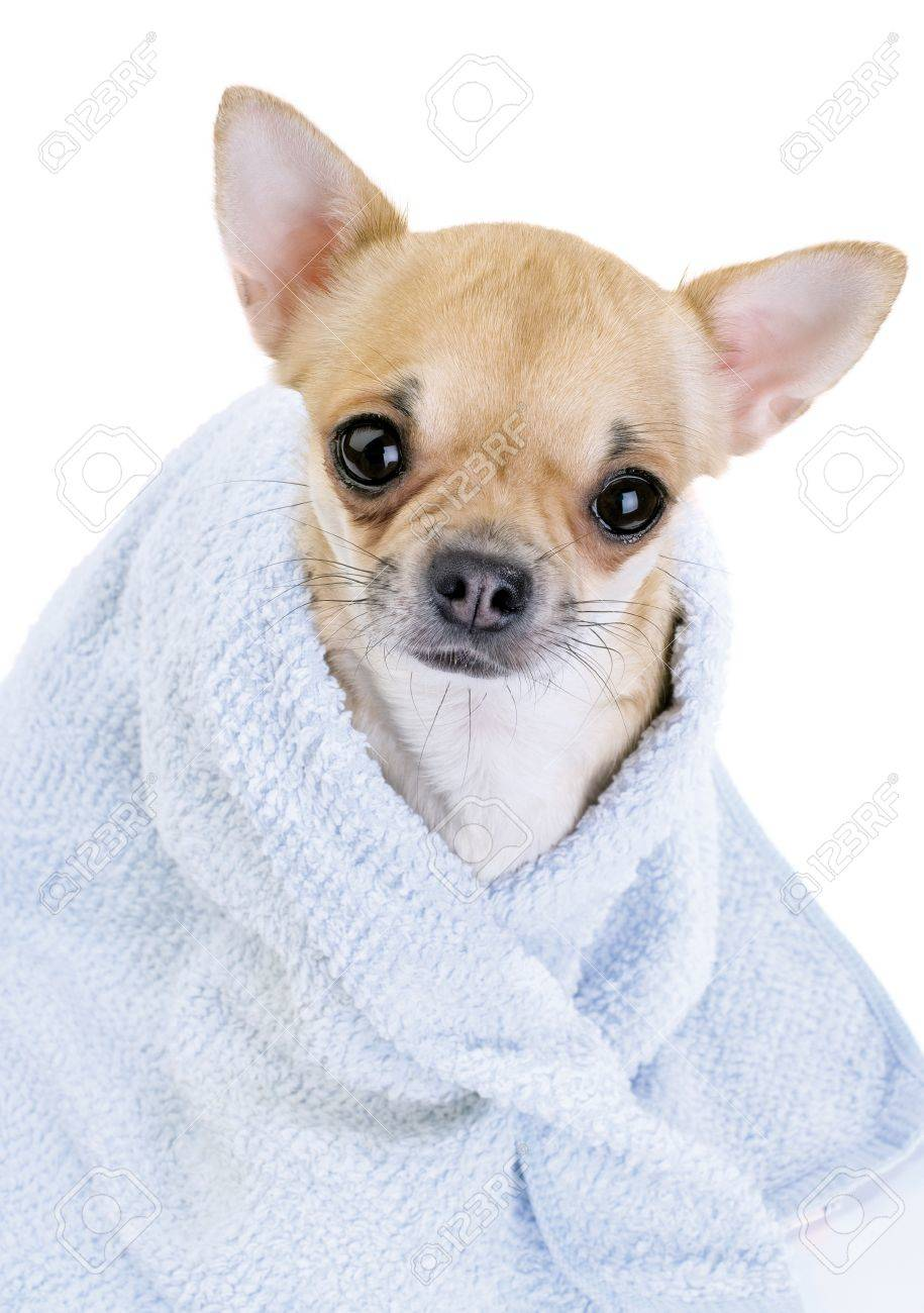 cute Chihuahua with blue towel close-up isolated on white background Stock Photo - 23837454