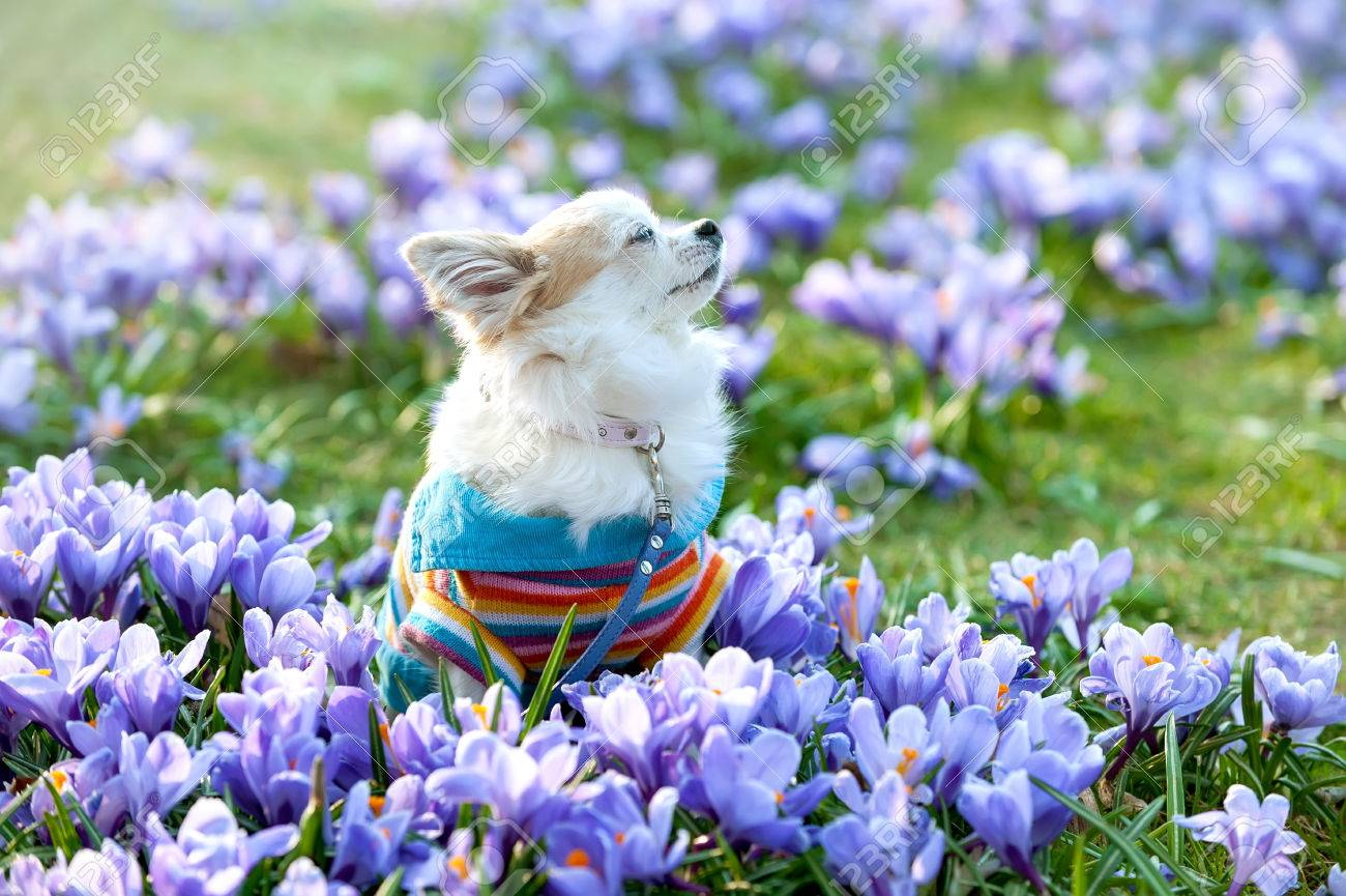 chihuahua dog dreaming among purple crocus flowers gentle spring
