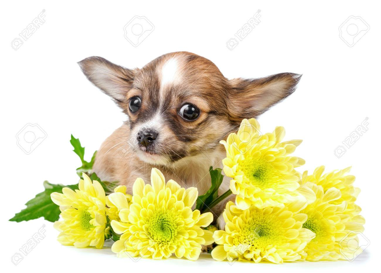 Cute Chihuahua Puppy With Yellow Flowers Close Up Isolated On