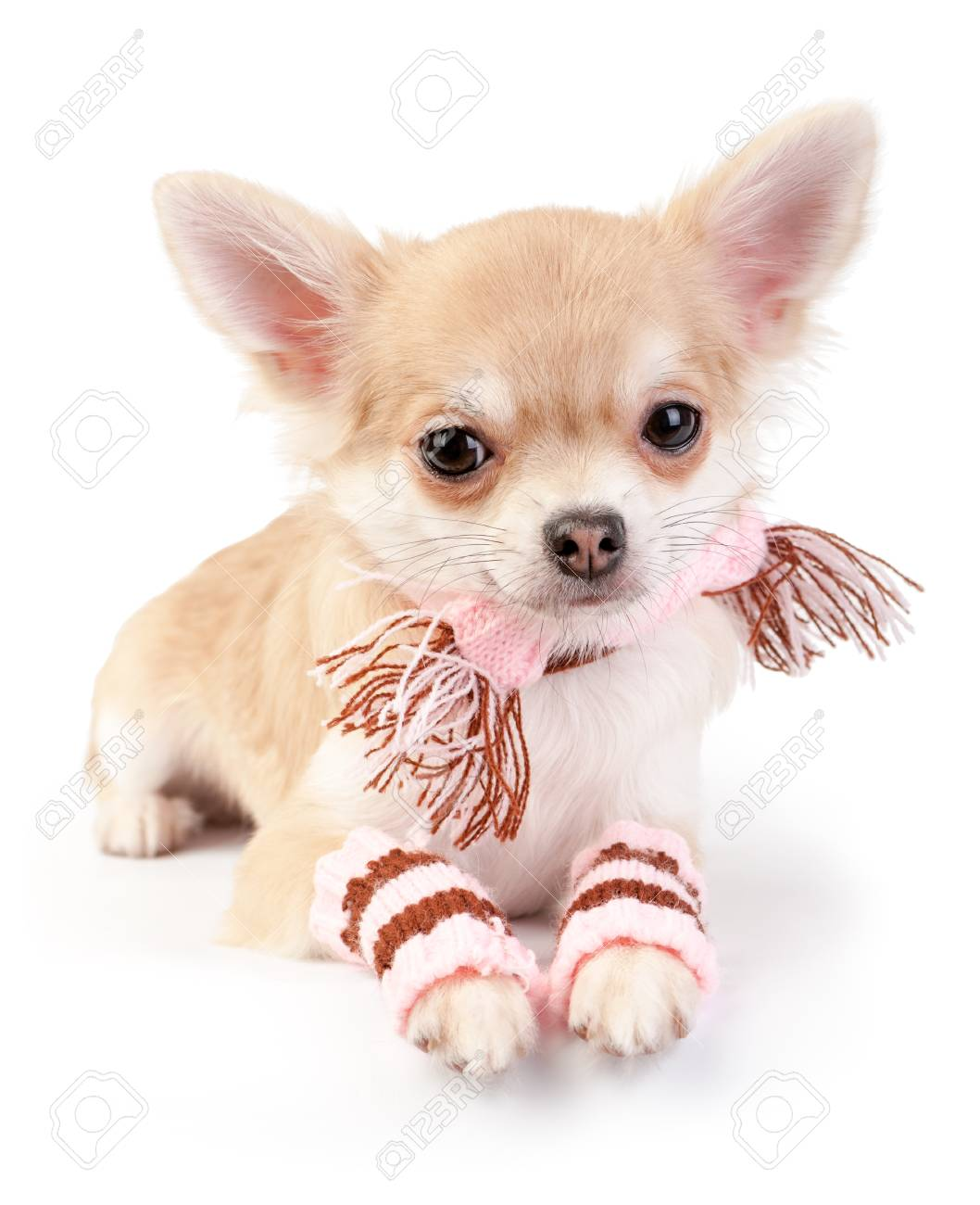05fa6eaa6d36e cute chihuahua puppy with woolen scarf and striped leggings lying down on  white background Stock Photo