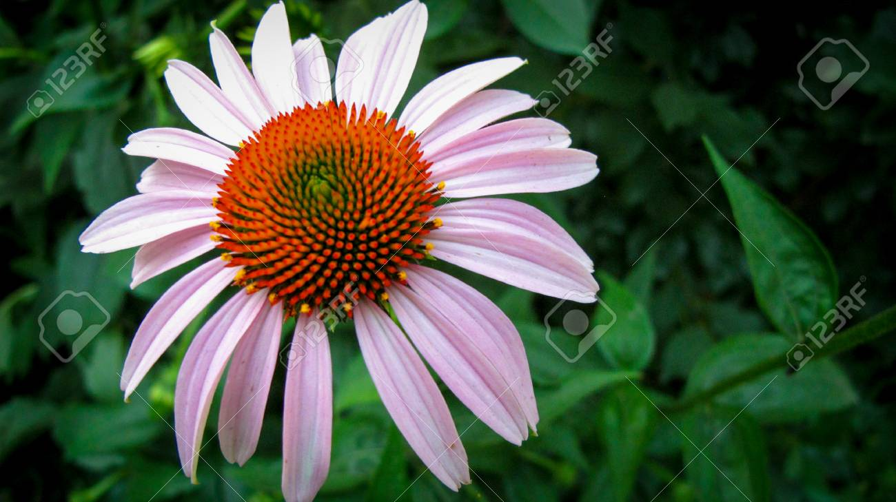 Large Perennial Flower Stock Photo Picture And Royalty Free Image