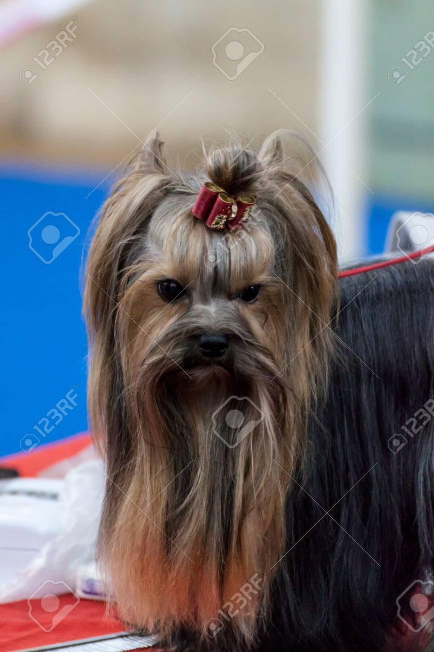 Cute Long Haired Yorkshire Terrier
